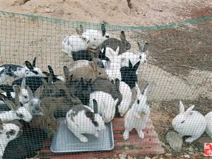 出售散�B兔