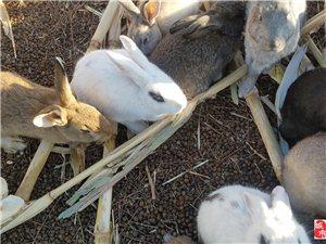 出售散�B家兔