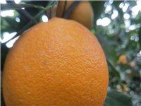 吉潭有两万斤搭网靓果,果头均匀,可订到冬至摘