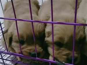 金毛幼犬便宜出售,联系电话13893779093
