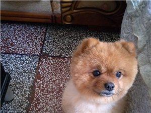 �ひ恢蛔厣�博美犬
