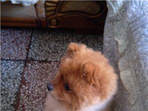 寻一只棕色博美犬