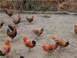 出售自家养的鸡需要的联系18386675223