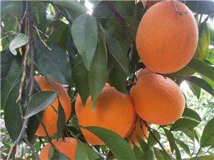 吉潭有二万多靓果,果头均匀,70到85果