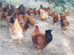 纯土鸡,平时只喂稻谷和饭,4斤到5斤半左右