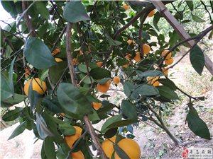 本人家里有二月红脐橙3000斤,现摘刚刚好,有需要的老板可联系