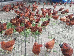 急急急,出售鸡