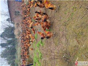 太文养殖合作社现生态养殖有土鸡,跑山鸡,公鸡重量4.5到5.5之间,玉米草饲养,现场购买20每斤,联