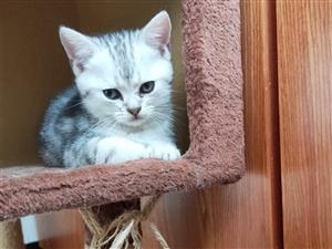 自家猫生的虎斑加白宝宝
