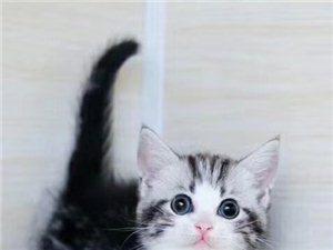 猫舍出售 精品~矮脚猫~布偶猫