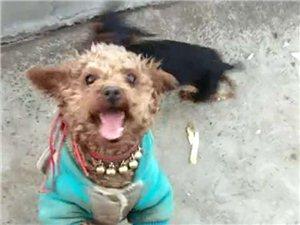 一��棕色泰迪公狗和一��黑色小鹿犬公狗