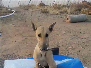 低价出售猎犬
