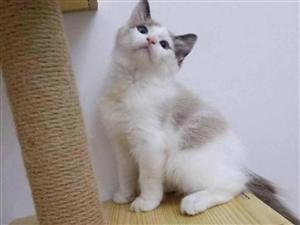 布偶猫出售