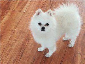 �白色袖珍��物狗