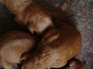 自家繁殖的泰迪一个月了,爆红色,四只