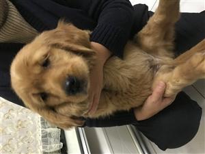 出售纯种金毛幼犬