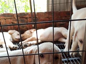 拉布拉多�C犬