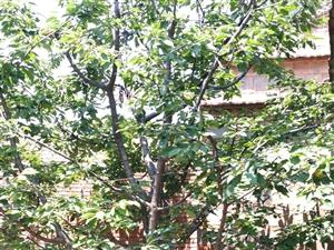 樱桃树,2颗,高5米,盛果期。急售!价格面谈。