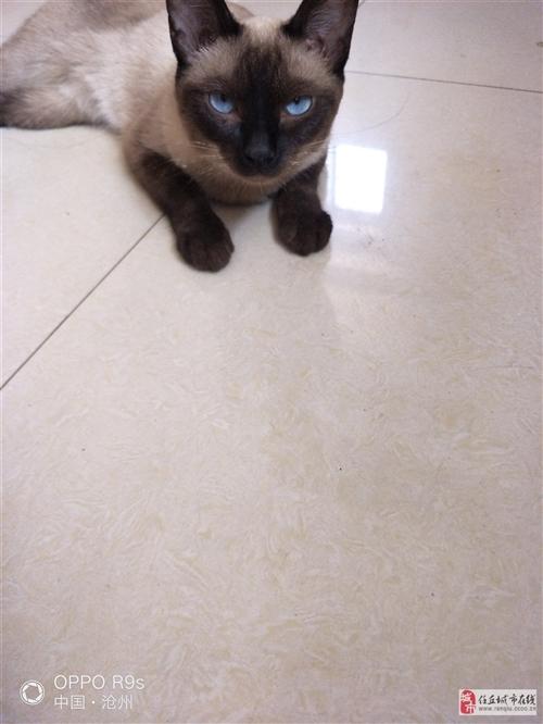 暹罗猫  有人要吗?