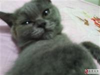 英短蓝猫,带血统。三个多月。因家里人反对,本人有学业在身。送猫砂盆猫砂猫粮,奶粉营养膏零食衣服等。可...
