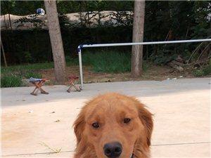 双血统,枫叶红,公,一岁,因没地方养,寻找有缘人,或换只小体的狗狗,最好是泰迪或比熊一类的小体狗狗,...