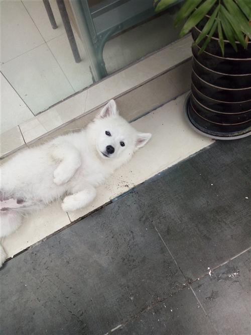 我有一只4個月大的薩摩耶,因家里沒人照看,想轉讓給愛狗人士,價格打電話咨詢,15528385153