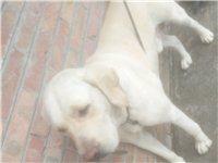 拉布拉多,大狗,公的,因本人有事无法再养,有爱狗人士望带走
