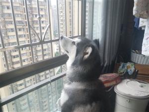 一只��的狗狗。不拆家不�y叫。就是�]有�r�g照�。希望有�坌牡娜耸渴震B。