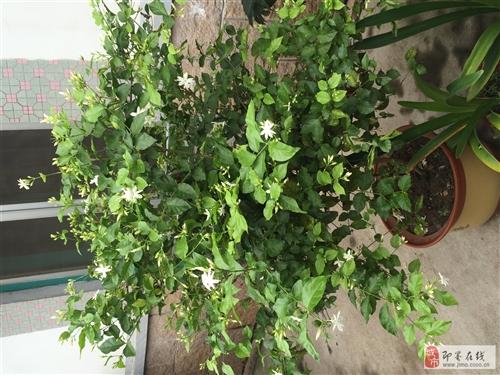出售茉莉花和橡皮树。茉莉花养了7年,可用于熏茶叶,橡皮树养了5年。茉莉花售价360元,橡皮树售价35...