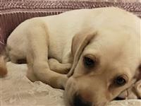 拉布拉多幼犬,已打针,聪明可爱,因孩子上学无法喂养,希望爱狗人士结缘,善待~