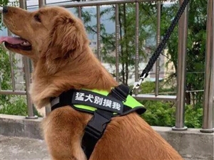 工作调动,转让自己养了两年多的金毛乖乖,希望能找到爱狗人士,只要是养价格低点都无所谓价格乱写的