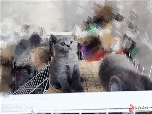 家養 高品質 純種 英短 藍貓 妹妹 領養 剛滿月的兩只純種藍貓妹妹出售,毛色好,體格健壯,骨架大...