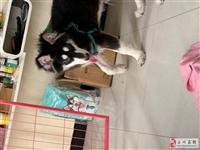 阿拉斯加4.個多月,本人因有的原因不方便繼續養狗狗,希望給狗狗找一個真心想要狗狗的主人,對它好不放棄...