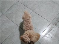 給泰迪狗狗找一個家。本人由于工作原因,現將自己養的一只泰迪狗狗低價出售。喜歡狗狗的朋友可以聯系。原價...
