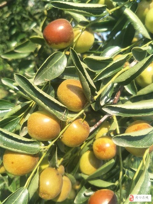 要去新疆幾年,老家23畝果園沒人管。轉讓,誠意者18838328043冬棗園,產量高,4年樹,正式大...