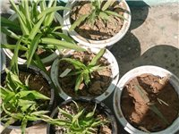自己养的青叶吊兰,繁殖力太好了。2元一盆,出同城,不包邮。有塑料盆,有加仑盆,都是小盆如图