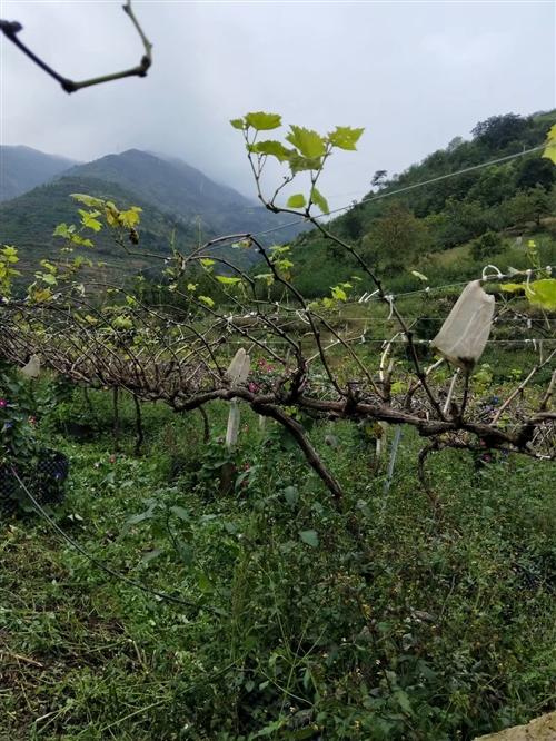 昭通魯甸高品質夏黑葡萄園出售,設施齊全