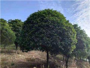 本人是广西桂林有大量绿化桂花树精品树冠,大约有1600颗左右。有需要的老板联系我 15177333...