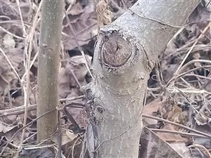 核桃树苗3――7公分,15一棵,涞水檀山村13091227736
