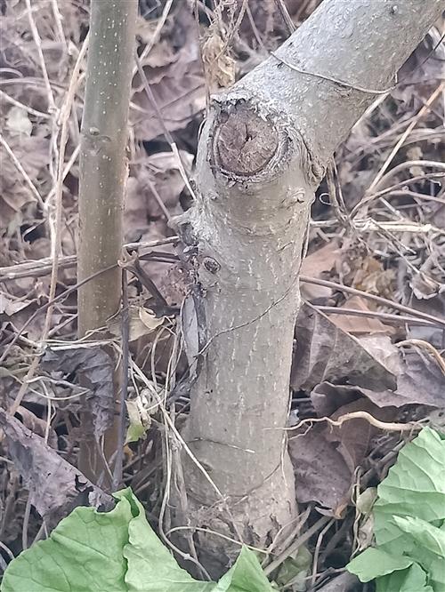 核桃樹苗3——7公分,15一棵,淶水檀山村13091227736