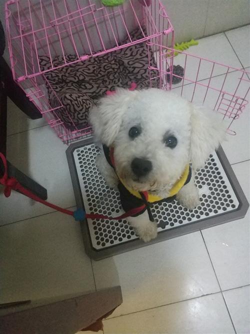 有人想要寵物狗的嗎?本人有一只5個月大的白色比熊聰明又可愛,防疫本手續齊全,因本人每天都要上班...