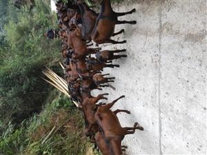 南江黄羊,太湖猪出售,有需要的联系我