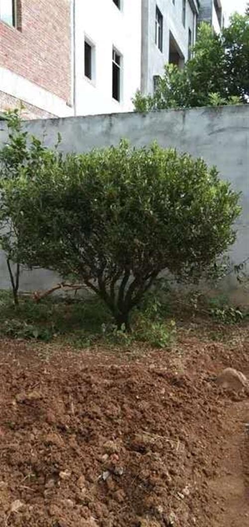 因建房现低价转让黄杨木一株,可包种。有意电联:13543238252