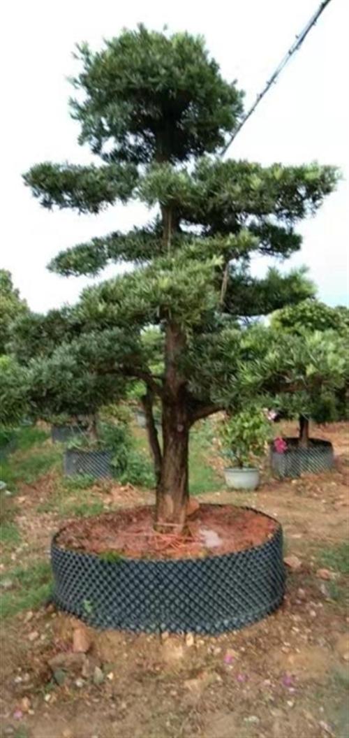 本人专业从事园林绿化行业多年,现低价出售罗汉松、树葡萄、黄金桂花树、台湾草及其它绿化观赏苗木,可包施...
