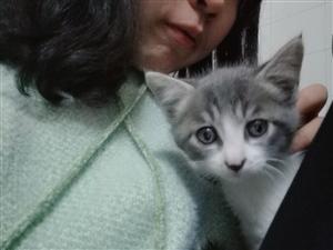 工作原因无法继续养猫咪 蓝猫   如有爱猫人士就联系我