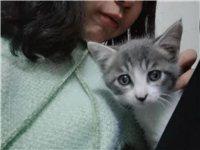 因为工作原因无法继续养猫咪  猫咪是朋友家加的苏格兰折耳猫和蓝猫串的  血统是双的纯血统 猫咪已经除...