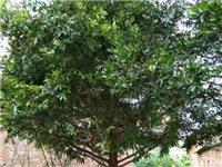 低价出售造型漂亮的精品竹柏跟黄杨木