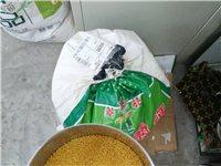 米脂物流下來的自己家產的新小米,香谷米,嬰幼兒老人必備食品,有需要的聯系添加微信,一斤7塊,保證愛吃...