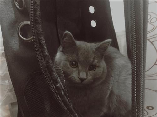 自家英短蓝猫,性格非常非常好,怀孕家里不让养了,刚刚5个月就发腮了,圆?#24120;?#38468;赠猫粮,封闭式猫砂盆,敞...