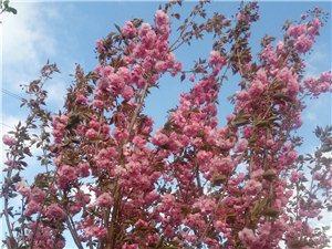 樱花苗木,干高1米一上顶杆,5~7公分的有要的可联系,货多价优啊